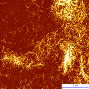 Protein Fibrils studied by AFM